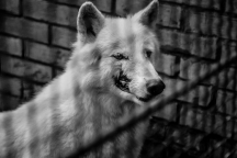 A wounded wolf in a cage at the zoo. Belgrade, Serbia - October 10, 2015